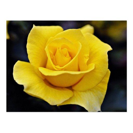 Flores blancas híbridas del rosa de té postal
