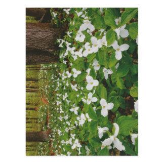 Flores BLANCAS salvajes CANADIENSES - REGALOS bara Postales