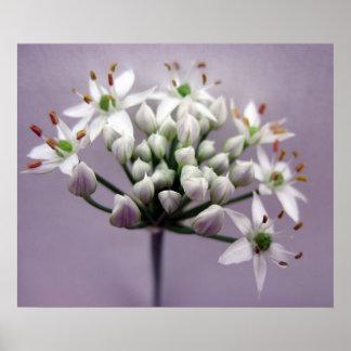 Flores blancos de la cebolleta de ajo en púrpura posters