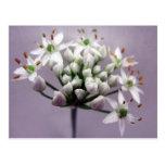 Flores blancos de la cebolleta de ajo en púrpura tarjetas postales