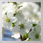 Flores blancos del cerezo impresiones