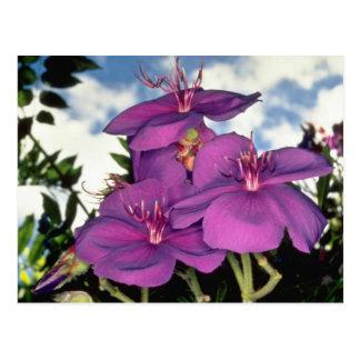 Flores brasileñas del arbusto de la gloria postal