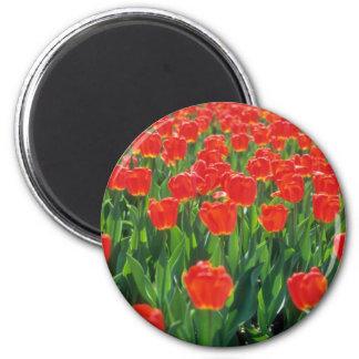 Flores carmesís de los tulipanes imán redondo 5 cm