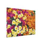 Flores coloreadas del crisantemo X Morifolium Impresiones En Lienzo Estiradas