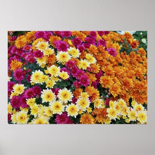 Flores coloreadas del crisantemo X Morifolium Poster