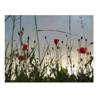 Flores - cuatro amapolas rojas postal