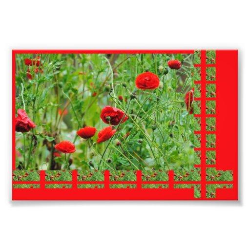 Flores de amapola fotografias