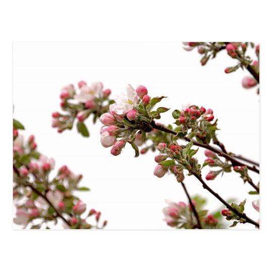 Flores de Apple en primavera Tarjetas Postales