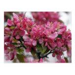 Flores de Apple Tarjetas Postales