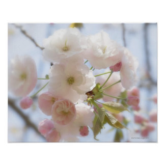 Flores de cerezo 3 póster
