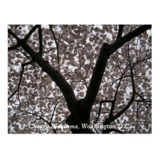 Flores de cerezo, C.C. de Washington Postales
