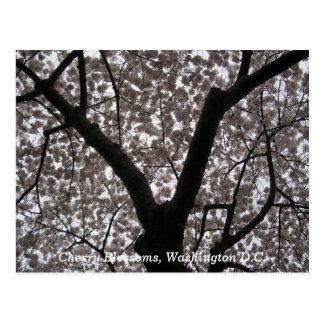 Flores de cerezo C C de Washington Postales