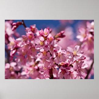Flores de cerezo de Sakura besadas por la luz del Póster