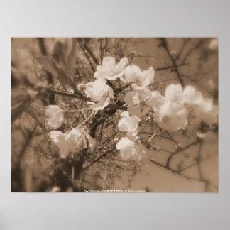 flores de cerezo en el cielo, sepia póster