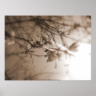 flores de cerezo en el sol, sepia póster