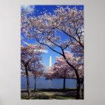 Flores de cerezo en la impresión del poster del Wa