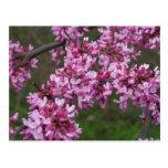 Flores de cerezo en Monticello de Jefferson Postal