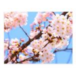 Flores de cerezo japonesas tarjeta postal