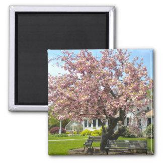 Flores de cerezo, parque de Elizabeth, Hartford CT Imán Cuadrado