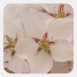 Flores de cerezo calcomanías cuadradass