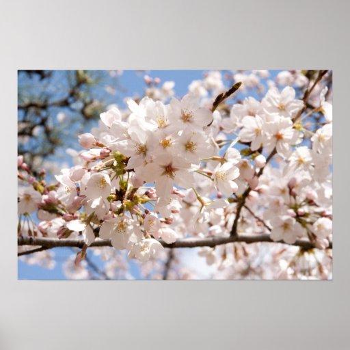 Flores de cerezo póster