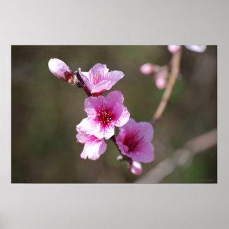 Flores de cerezo rosadas impresiones