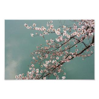 Flores de cerezo rosas claras en fondo de los turq fotografía
