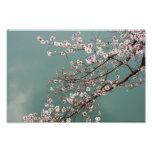 Flores de cerezo rosas claras en fondo de los turq impresion fotografica