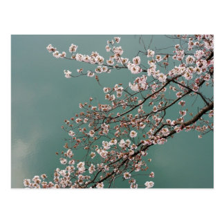 Flores de cerezo rosas claras en fondo de los turq tarjeta postal