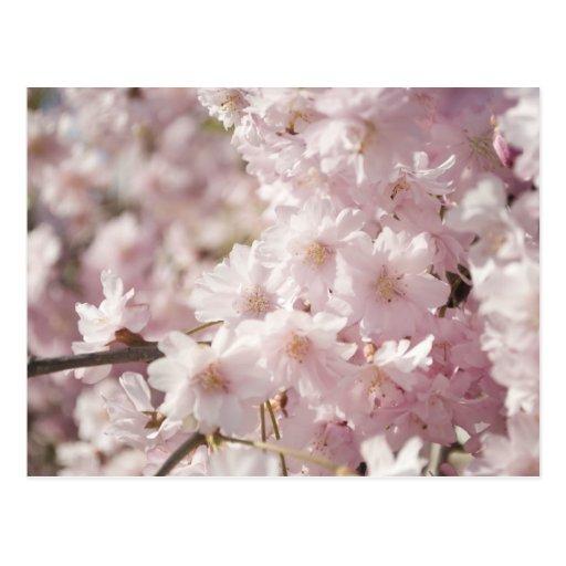 ¡Flores de cerezo! Tarjeta Postal