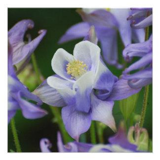 Flores de Columbine
