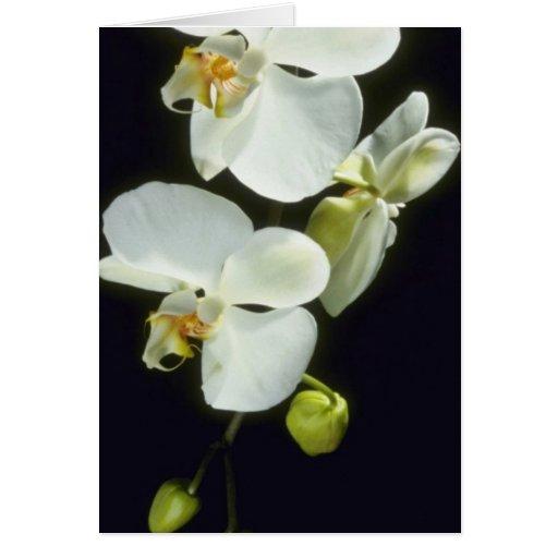 Flores de Concorde (Phalaenopsis) Tarjetón