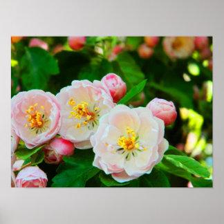 Flores de Crabapple Póster