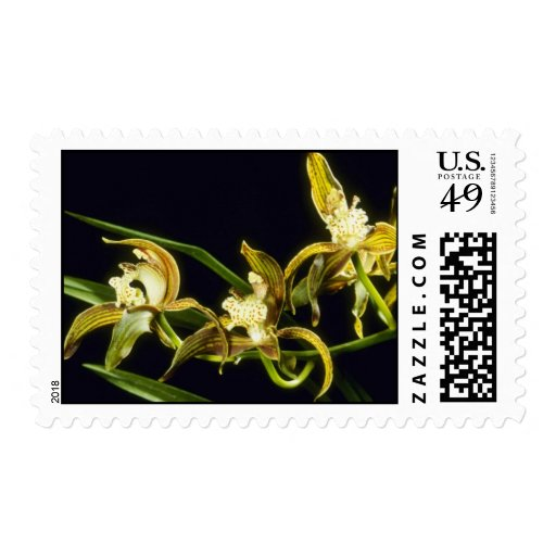 Flores de Eburneum de la cal (Cymbidium)