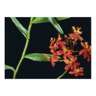 Flores de Ibaguense (Epidendrum) Comunicados