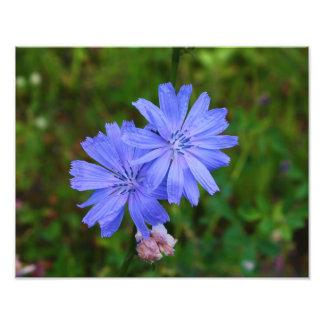 Flores de la achicoria foto