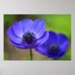 Flores de la amapola azul posters