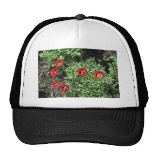 Flores de la amapola de maíz (Papaver Rhoeas) Gorras