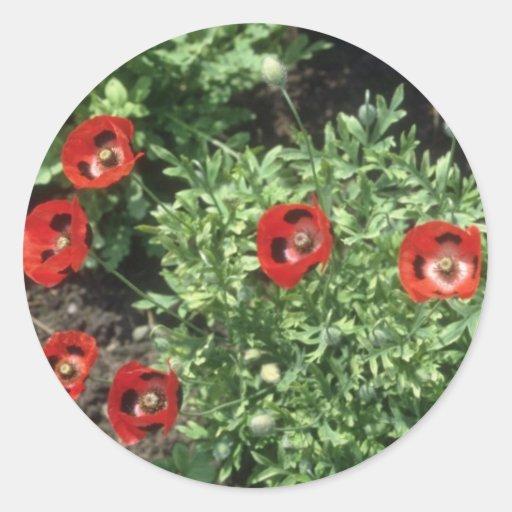 Flores de la amapola de maíz (Papaver Rhoeas) Etiqueta Redonda