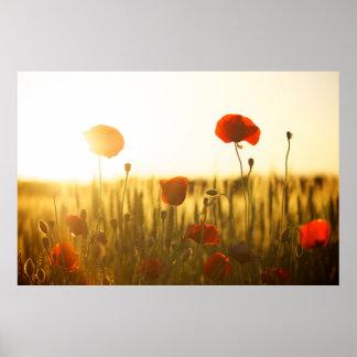 Flores de la amapola en luz del sol póster