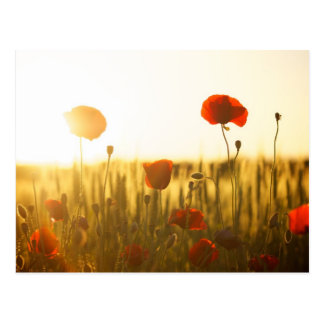 Flores de la amapola en luz del sol postales