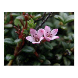 Flores de la azalea alpina, isla de Unalaska Postales