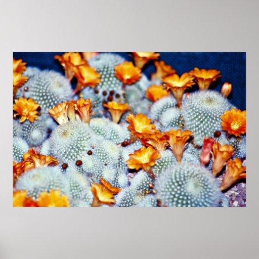Flores de la bola del escarlata del cactus póster
