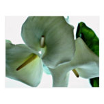 Flores de la cala postales