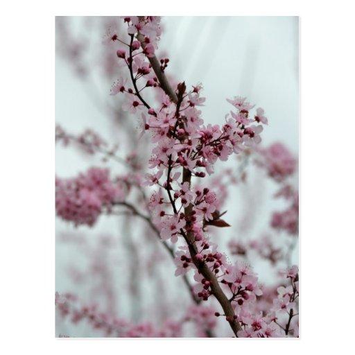 Flores de la flor de cerezo de la primavera postal