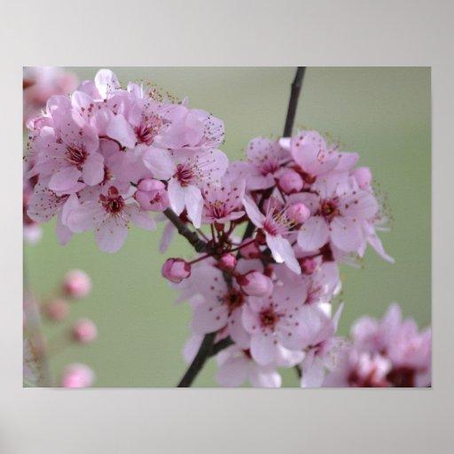 Flores de la flor de cerezo posters
