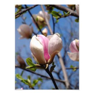 Flores de la magnolia impresion fotografica