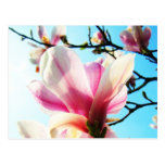 Flores de la magnolia - postal