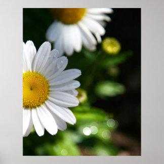 Flores de la margarita, gotitas poster