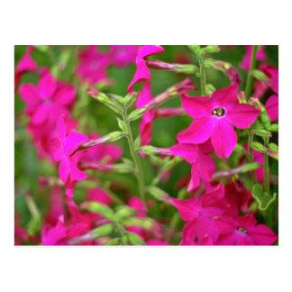 Flores de la nicociana tarjetas postales